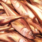 ハタハタ(魚)