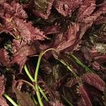 梅干し用紫蘇の葉